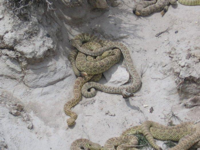 Snake looks like a rattler sounds like one has no rattle